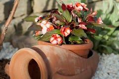 Begonia flower Royalty Free Stock Photo