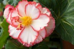 Begonia flower. The close-up flower of begonia. Scientific name:Begonia tuberhybrida Royalty Free Stock Photos