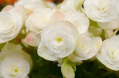 Begonia flower Stock Photos