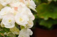 Begonia flower Stock Photo