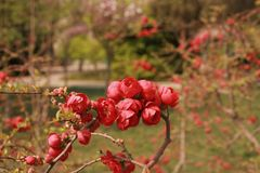 Begonia flower. Crabapple: trees, up to 8 m tall; branchlets stout, cylindrical, pubescent at young age, gradually shedding, old red brown or purple brown Royalty Free Stock Images
