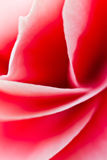 Begonia flower Curves Royalty Free Stock Photo