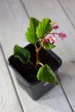 Begonia flower in flowerpot - home plant Stock Photo