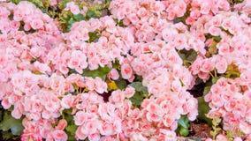 Begonia flower in the garden Stock Image