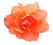 Begonia. Flower isolated on white background Royalty Free Stock Image