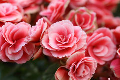 Begonia flower Royalty Free Stock Images
