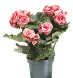 Begonia Stock Images