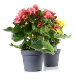 Begonia Flower in a Pot royalty free stock images