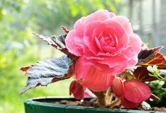 Begonia royalty free stock photo