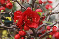 Begonia flower Stock Photos