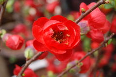 Begonia flower Stock Photography