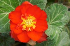 Begonia flower. The flower of begonia(Scientific name:Begonia tuberhybrida) is blooming stock photos