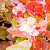 Begonia flower. Royalty Free Stock Photos