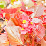 Begonia flower. Stock Photography