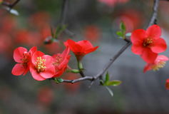 Begonia flower in spring. Chinese flowering crab-apple Red Begonia flower in spring Royalty Free Stock Photography