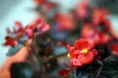 Begonia in flowerbeds royalty free stock images