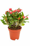 Begonia in flowerpot isolated on white background. stock photography