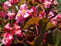 Begonia Flowers Immagine Stock