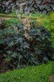 Begonia Flowers image stock