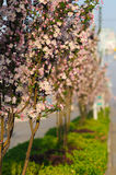 Begonia flowers Stock Image