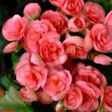 Begonia Flowers Royalty-vrije Stock Foto's