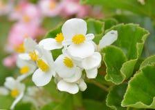 Begonia Flowers Royaltyfri Foto