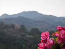 Begonia Flowers Imagen de archivo
