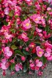 Begonia Flowers Arkivfoto