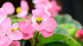 Begonia flowers and bee Royalty Free Stock Images