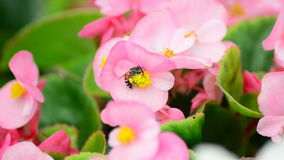 Begonia flowers and bee Stock Photos