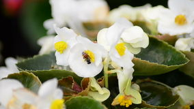 Begonia flowers and bee Royalty Free Stock Photography