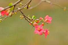 Begonia flowers are blooming in Shangli old town Royalty Free Stock Photography