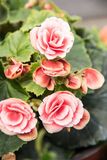 Begonia flowers Stock Image
