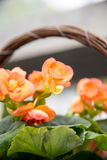 Begonia flowers Stock Photo