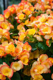Begonia Flowers Close-Up Imagem de Stock