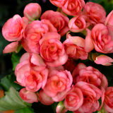 Begonia flowers Royalty Free Stock Photos