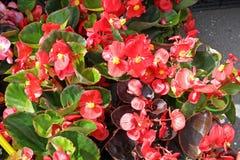 Begonia Flowers Foto de portada de begonias Modelo floral Textura del fondo de la flor fotos de archivo