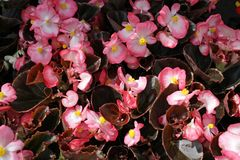 Begonia Flowers Foto de portada de begonias Modelo floral Textura del fondo de la flor imagen de archivo libre de regalías