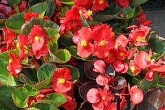 Begonia Flowers Foto de portada de begonias Modelo floral Textura del fondo de la flor imagen de archivo