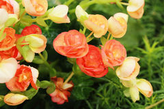 Begonia flowers in the garden Royalty Free Stock Images