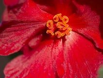 Begonia. Stock Photography