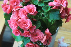 Begonia flowers Stock Photos
