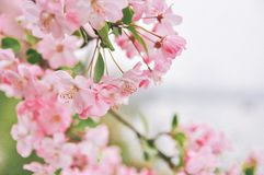 Flowering crabapple, Malus halliana, or Begonia. pink Flower, closeup. stock photo