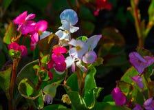 Begonia Flowers una pianta erbacea dei climi caldi, il luminoso Fotografia Stock Libera da Diritti