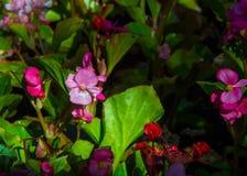 Begonia Flowers una pianta erbacea dei climi caldi, il luminoso Fotografie Stock
