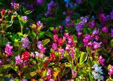 Begonia Flowers una pianta erbacea dei climi caldi, il luminoso Fotografia Stock