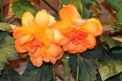 Begonia. Garden ( Nabana no Sato stock image