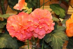 Begonia. Garden ( Nabana no Sato stock images