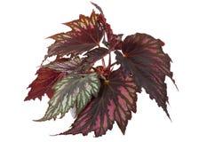 begonia garnek Fotografia Stock