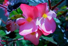 Pink Begonia flowwers. Begonia is a genus of perennial flowering plants in the family Begoniaceae. The genus contains more than 1,800 different plant species stock photography